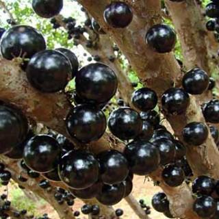 حقایقی در باره میوه جابوتیکابا (انگور برزیلی)